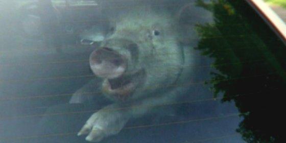 ¿Por qué sonríe esta cerda con recochineo en un coche policial tras ser 'detenida'?
