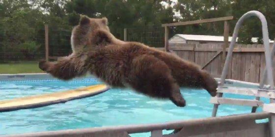 El oso caprichoso que se tira en plancha a la piscina para combatir el feroz calor