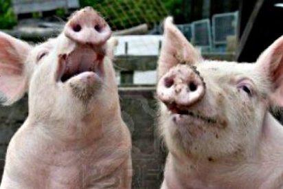Europa está llena de cerdos