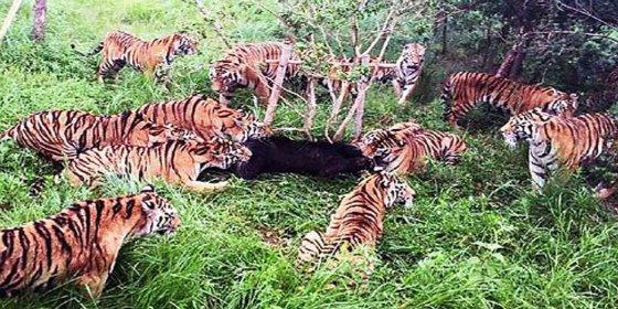 Así devoran 12 tigres a un osezno curioso ante el espanto del público