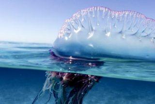 Se acercan medusas venenosas con tentáculos tan largos como 5 autobuses