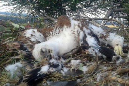Imputadas dos personas por envenenamiento de águilas imperiales en Alburquerque (Badajoz)