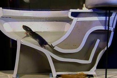 [Vídeo] Así puede colarse una rata de alcantarilla en tu retrete y morderte el culo