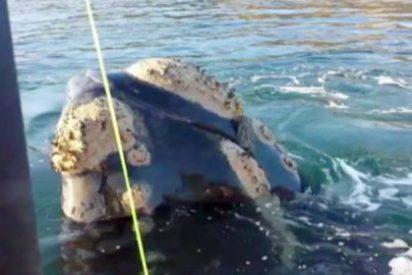 La ballena que pide ayuda para no morir atragantada por una bolsa