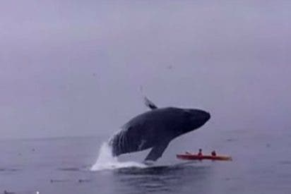 [Vídeo] La ballena jorobada que cae sobre la canoa de una aterrada pareja
