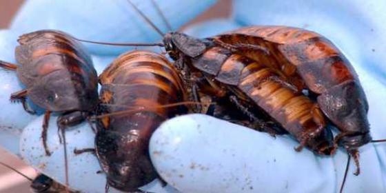 [Vídeo] Se mete una familia de cucarachas en el oído de un chino y ni se entera