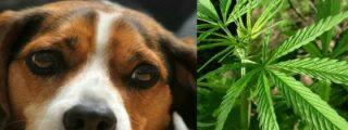 Caen del cielo 12 kilos de marihuana en un paquete y aplastan la caseta del 'descolocado' perrito