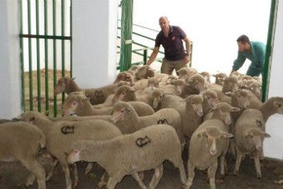 La entrada de ganado en las naves de la Feria Internacional Ganadera de Zafra finaliza hoy miércoles