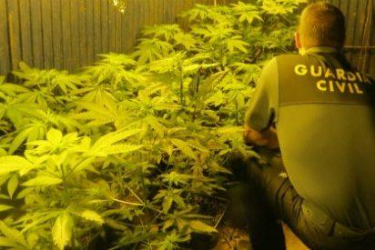 Desmantelado un punto de cultivo de marihuana en un cobertizo de una explotación ganadera