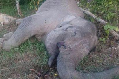 El vil asesinato del famoso elefante Yongki para quitarle sus colmillos