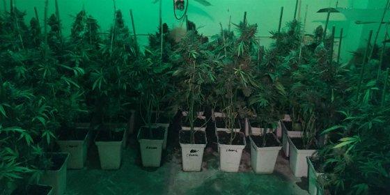 La Policía Nacional desmantela una plantación de marihuana en Villanueva de la Serena