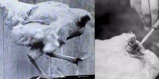La historia del pollo que vivió un año y medio sin cabeza... pone la piel de gallina