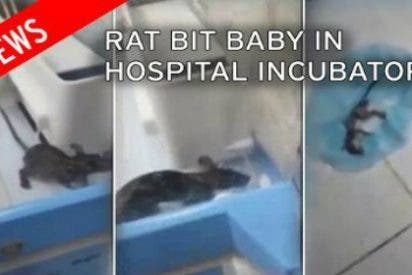 El vídeo de la espantosa rata orejuda que se mete en la incubadora... ¡y muerde al bebé!