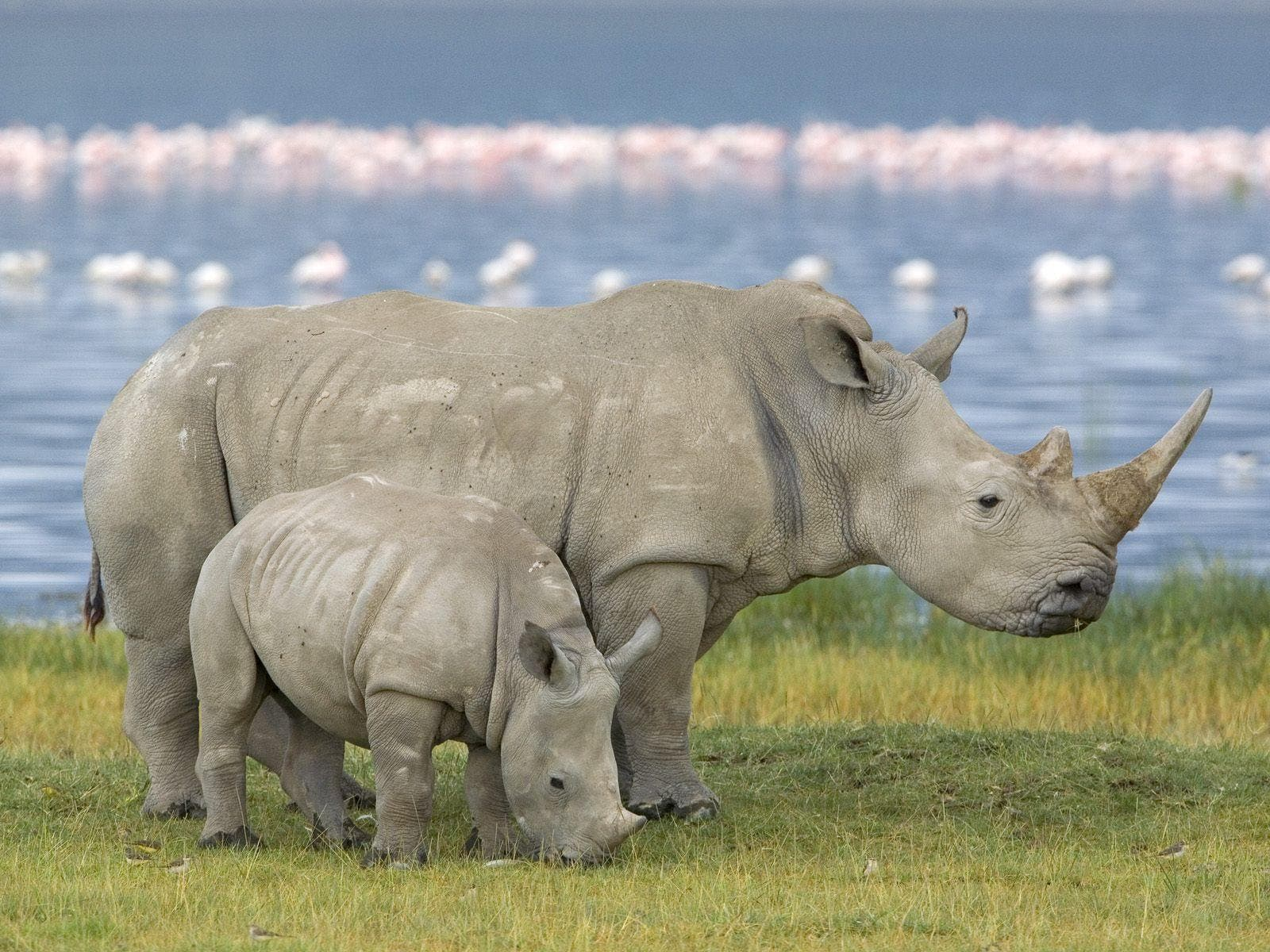 Cómo la ciencia evitará la extinción del rinoceronte blanco
