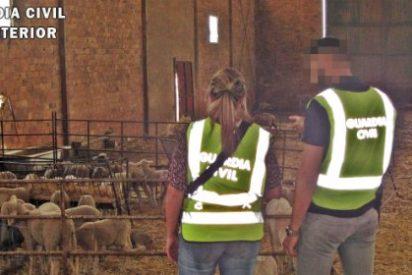 Dos detenidos por el robo de un centenar de cabezas de ganado ovino