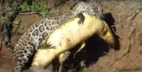 El jaguar que se zambulle en el río y caza a un desprevenido cocodrilo