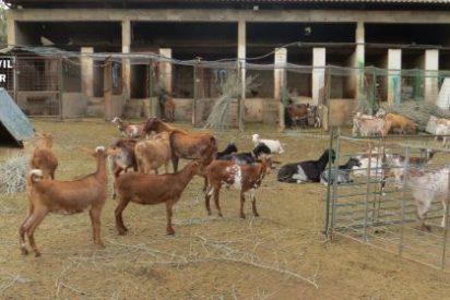 Recuperadas en Guareña (Badajoz) doce cabras sustraídas de una explotación ganadera