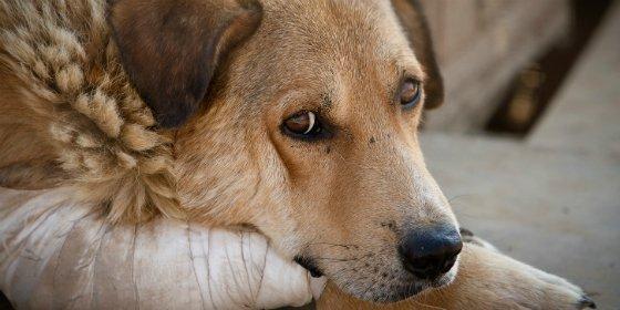 La Guardia Civil imputa a dos personas por amputar ambas orejas a un perro en Gerena (Sevilla)