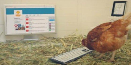 [Vídeo] La 'gallina tuitera' que gana 'followers' sin importarle un huevo