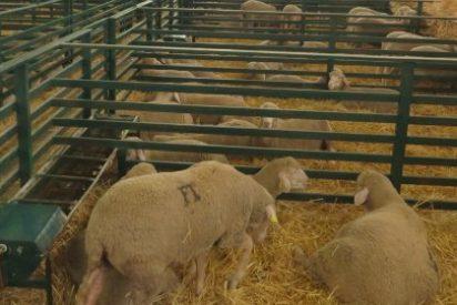 Las subastas de ovino y caprino se celebran hoy miércoles en la FIG