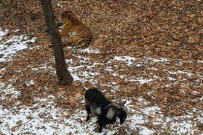 [Vídeo] La cabra chulita que planta cara a un tigre venido a menos