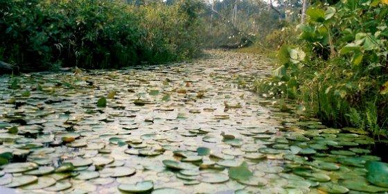El Ministerio de Agricultura invertirá 600.000 euros para intensificar la lucha contra el camalote en el río Guadiana
