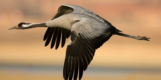 El Festival de las Grullas en Extremadura reunirá a 3.000 aficionados a la ornitología
