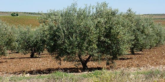 APAG EXTREMADURA ASAJA denuncia la bajada inexplicable en el precio del aceite de oliva virgen