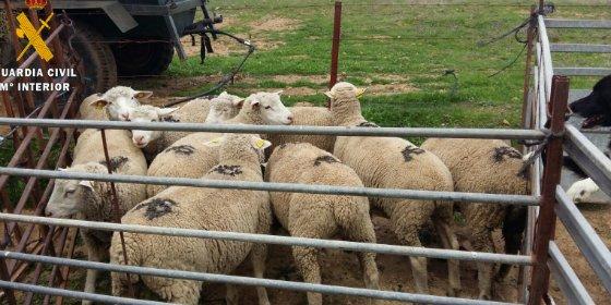 Recuperadas nueve cabezas de ganado ovino sustraídas de una explotación de Valencia del Ventoso