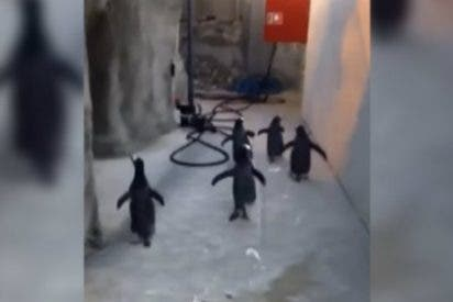 [Vídeo] El desesperado intento de fuga de los listorros pingüinos del zoo