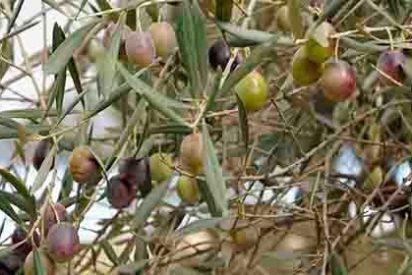 Cooperativas Agro-alimentarias Extremadura pide más medios para evitar la actual oleada de robos de aceituna