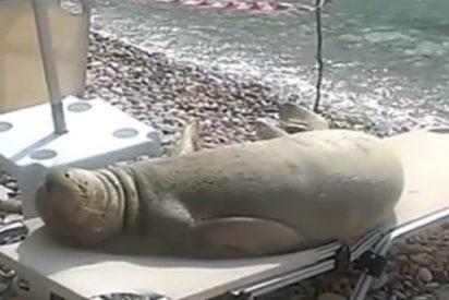 El león marino que toma el sol en una tumbona de la playa triunfa en las redes