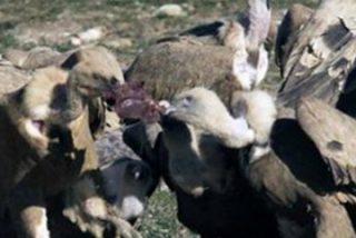 Junta de Extremadura autoriza nuevos muladares para la alimentación de las aves necrófagas
