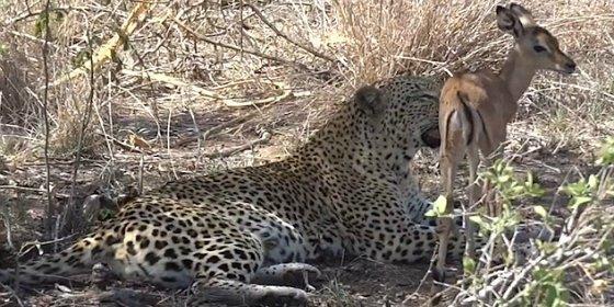 El feroz leopardo que juega con su presa y acaba perdonándole la vida