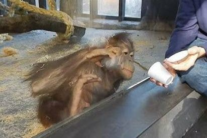 ¡Toma castaña! El orangután se parte de risa con un truco de magia