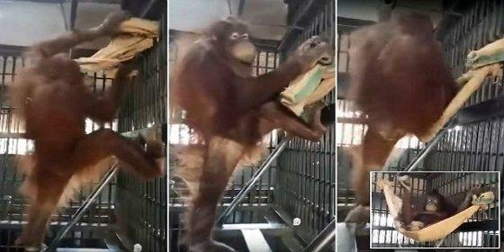 La orangutana que se construye una hamaca para no dormir en el suelo