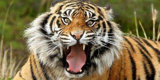 [Vídeo] El turista se lanza a la jaula de los tigres desde una altura feroz