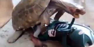 La tortuga salida que practica sexo con unos patines poniendo cara de loca