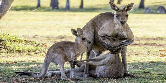 La tierna familia de canguros que se despide de una agonizante madre