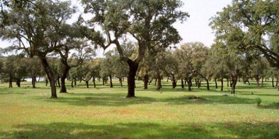 Miles de encinas y alcornoques mueren en la comarca de Granadilla