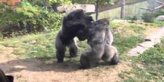 [VÍDEO] La feroz pelea de dos gorilas a puñetazos en un zoo