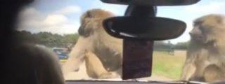 ¡Un safari triple X! Los monos se ponen a fornicar y a la niña le da por llorar