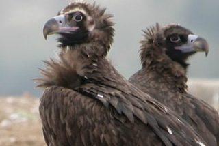 El Parque Nacional de Monfragüe cuenta con la mayor colonia de buitres negros del mundo