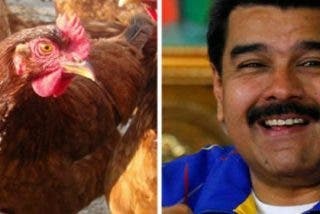 Maduro da alas en Twitter a su gran idea para combatir el hambre en Venezuela: ¡Tener gallinas en casa!
