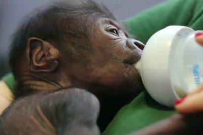 [VÍDEO] El tierno gorila viene al mundo tras una cesárea a su madre