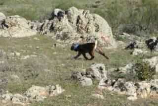 Extremadura refuerza la genética de sus linces con la liberación de cinco ejemplares