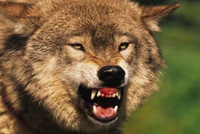 El lobo rabioso ataca a un matrimonio y lo estrangula el feroz marido