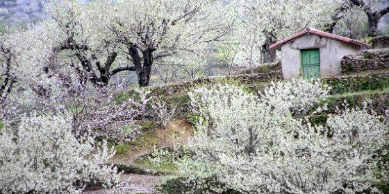 El Valle del Jerte calienta motores para su cerezo en flor