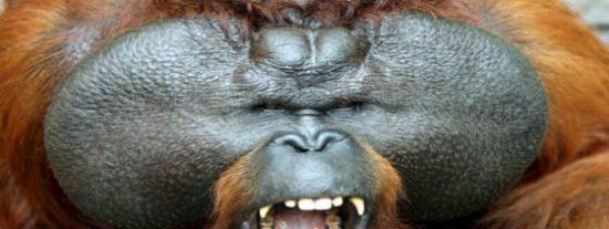 La celosa orangután utilizó a un matón para asesinar a su odiada rival