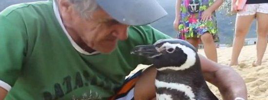 El pingüino que recorre más de 8.000 km cada año para visitar al hombre que le salvó la vida